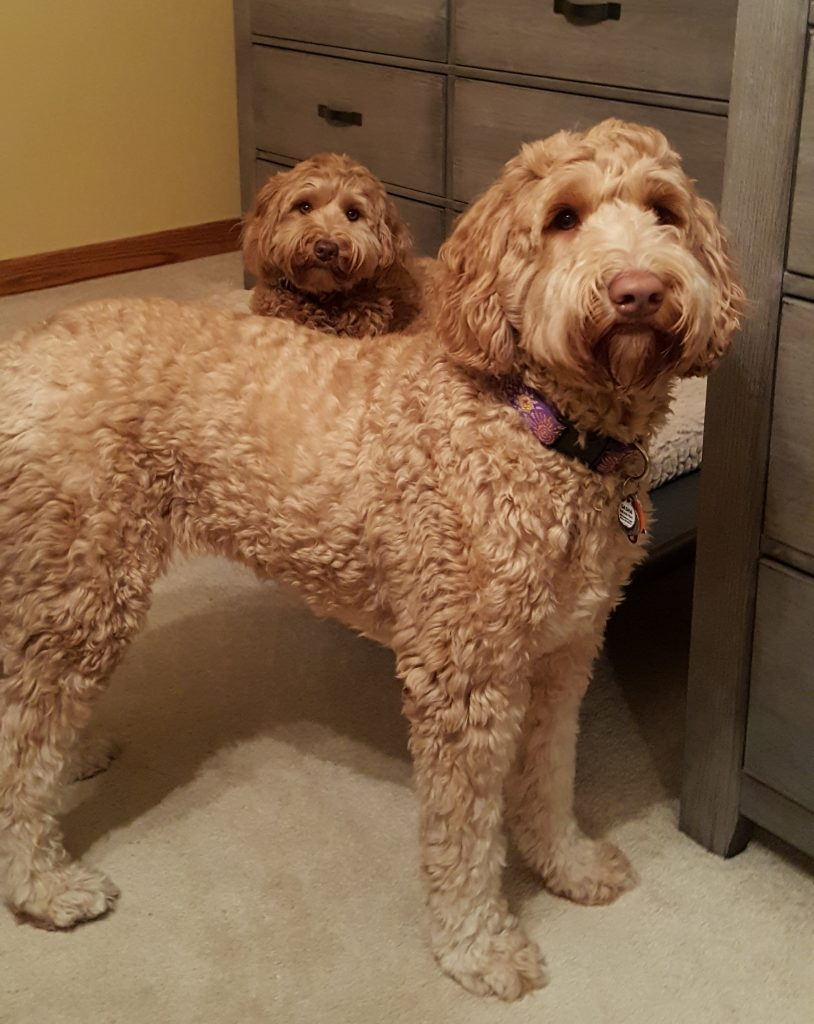 Guardianship Opportunities in Northeast Ohio, Australian Labradoodles